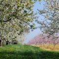 Orchard in full bloom